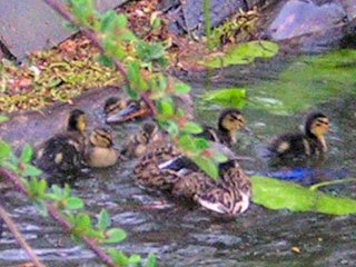 A female Mallard with young chicks Photo by Grace