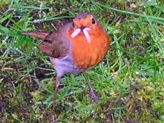 A cheeky robin snacks on an anglers bait Photo by Grace