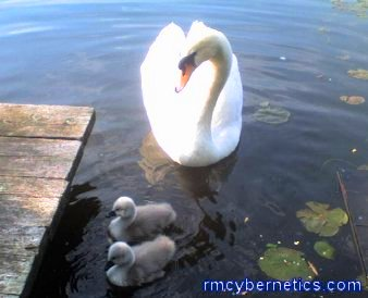 A Swan with its young