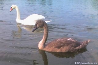 A Swan with an older chick